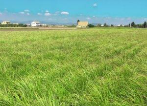 panorama campi di Chufa